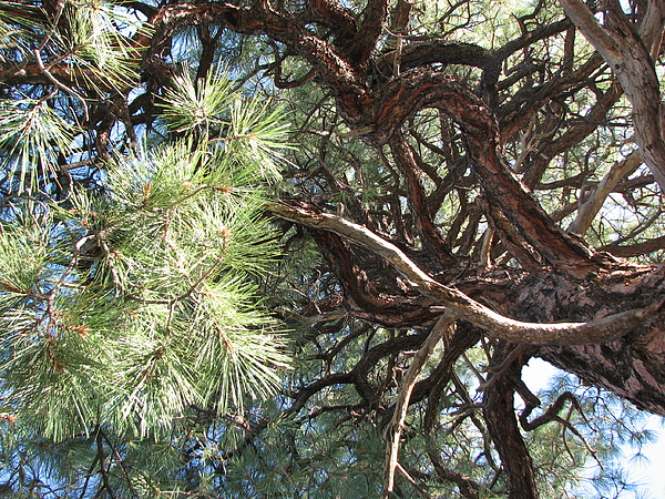 Pine-ally Looking Up by Jessica Boone